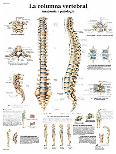3B Scientific VR3152L Póster anatómico, la Columna Vertebral, Anatomía y Patología