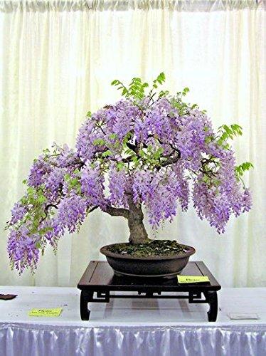 Vente Savoureaux 10 graines/l'unité Bonsai Wisteria Graines Pour Diy jardin Décoration Wisteria Graines de fleurs 4