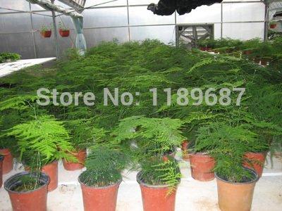 50pcs / graines de bambou Asparagus setaceus Seeds petite maison graines de bambou chance de bambou pour la maison usine