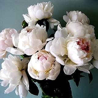 10 pcs/bag Double Blooms peony seeds Heirloom Sorbet Robust peony yellow bonsai flower seeds pot tree Rose Balcony garden plant