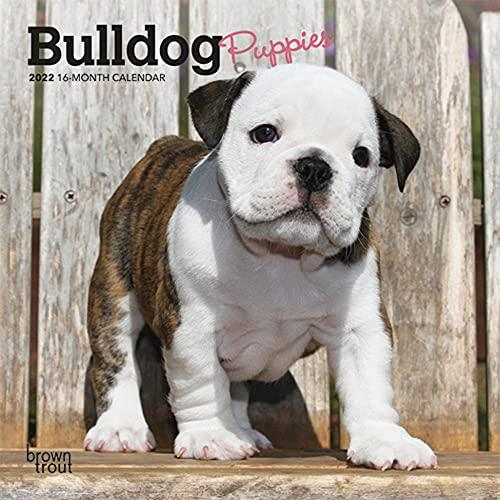 Bulldog Puppies 2022 7 x 7 Inch Monthly Mini Wall Calendar, Animals Dog Breeds Puppy DogDays