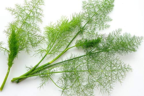 250 Graines d'Aneth - plante aromatique - légumes jardin potager méthode BIO