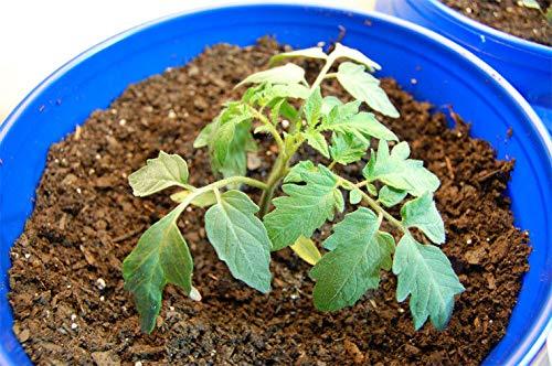 Portal Cool 300 graines de tomates Roma Rouge mi-saison