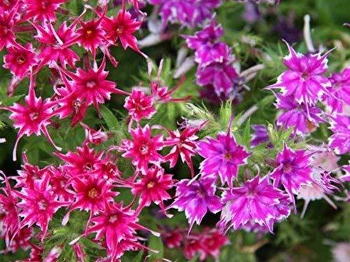 Flores rosas y púrpuras, rompecabezas grandes de 500 piezas para adultos, niños, regalo de bricolaje, rompecabezas de madera