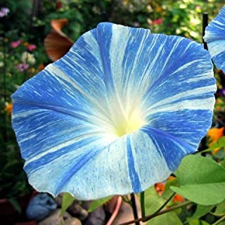 Amazon com: flying saucers morning glory