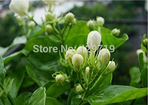 10 / BAG Cape Jasmine Seeds, (Gardenia jasminoides) odorante arbustifs Exotique - pollinisation ouverte rares graines de fleurs belle bonsaï