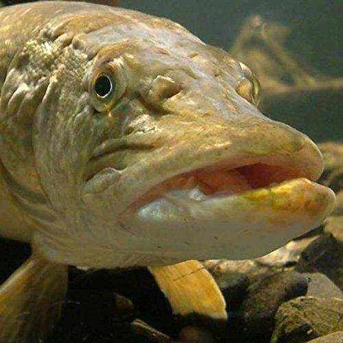 Learn To Pike/Zander Fisch auf der Fluss Severn–£80–Gutschein für Angeln Abenteuer Predator Erfahrung