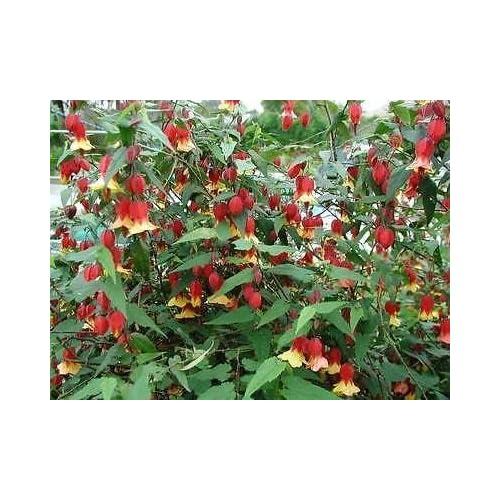 Abutilon Plants Amazoncouk