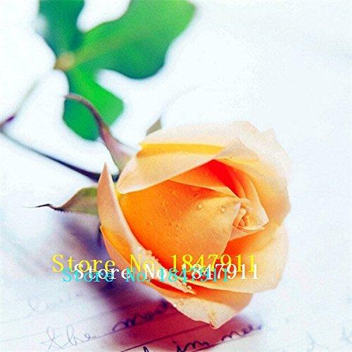 Grande vente 100New Belle romantique Escalade Variété Couleur Rose Graines Rosa Multiflora Perennial jardin Décor