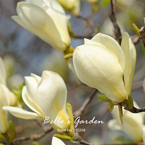 10pcs Michelia Magnolia champaca Graines Parfumée Fleur Arbre Air Purifier Bonsai bricolage usine