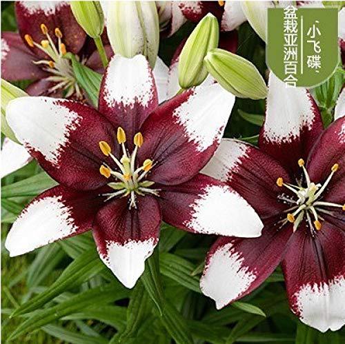 Semillas Ornamentales de Hierba,Bulbos de Lirio con brotes en Maceta-I_1,Semillas de Flores perennes