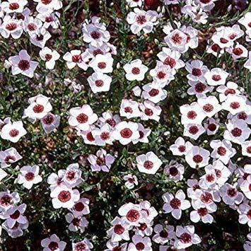 SANHOC Samen-Paket: FreshSeeds - Flax Bright Eyes Blumensamen