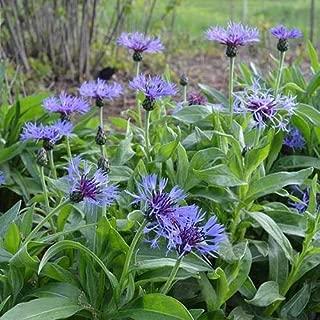120 Seeds Cornflower Montana Wildflower Seeds (Centaurea Montana) TkThesun