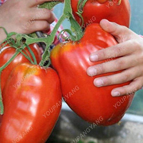 100 Graines de légumes de haute qualité des semences de tomate Arbre Semences de tomates de serre de tomates arbustives Escalade Balcon Violet Potted