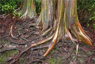 SANHOC 100 PC/Bag Regenbogen-Eukalyptus Bonsai tropischer Baum Plantas Hauptdekoration schöne Gartenpflanze Regenbogen Eukalyptusbaum: 4