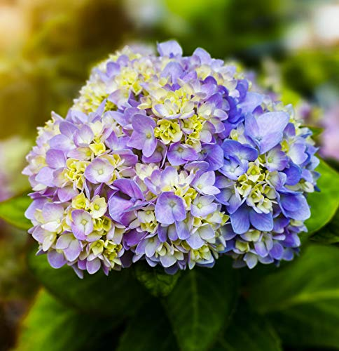 20+ Mixed Color Multicolor Hydrangea Macrophylla Seed Bonsai Flower Plant Wedding Seeds