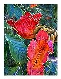 Exotic Plants Spathodea campanulata - árbol Africano de tulipán - 20...
