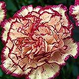4:レアブラックカーネーションの種バルコニー鉢植えコートヤードガーデン植物ローズCaryophyllus花の種子100PCS 4