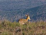 Kudu Fever