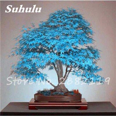 Rare bleu japonais samares 30 Pcs Bonsaï Plantes de costume Pot pour plantes Jardin Bricolage & Balcon Absorber Formaldéhyde 8