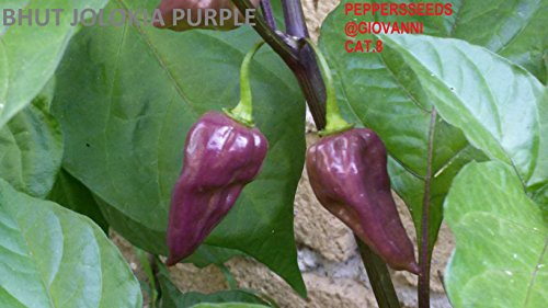 GRAINES DE PIMENT--BHUT JOLOKIA PURPLE