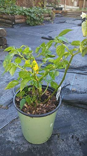 Generic Paprika, Lemon Drop, Organisch, Capsicum baccatum, 1 Gallone Topfpflanze