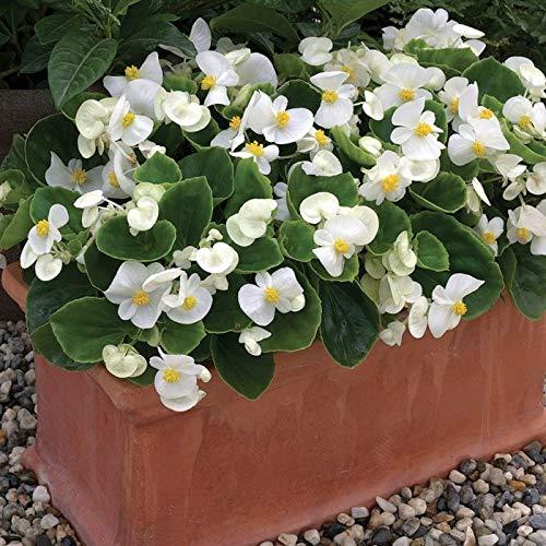 Derlam Samenhaus-50 Pcs Begonie White Comet weiß Blumen Sommer Saatgut Blumensamen Begoniensamen mehrjährig für Garten