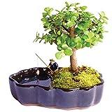 indoor bonsai trees