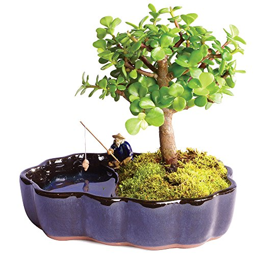 Brussel's Live Dwarf Jade Indoor Bonsai Tree in Zen Reflections Pot - 3 Years Old; 8' to 10' Tall