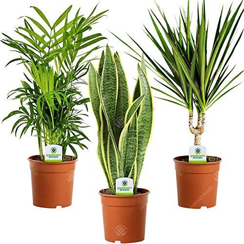 Indoor Plant Mix - 3 Plants - House/Office Live Potted Pot Plant Tree (Mix D - Sansevieria Laurentii, Chamaedorea Elegans & Dracaena Marginata)