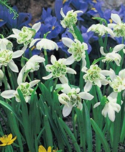 Gefüllte Schneeglöckchen Galanthus nivalis Flore Pleno (20 Blumenzwiebeln)