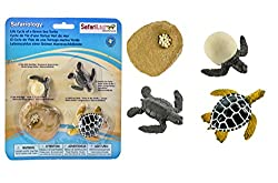 Life cycle of a turtle educational models