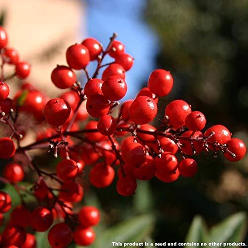 Portal Cool Nice 100 ViVaces de graines de Fruits Viburnum + Gratuit Vente Hot New