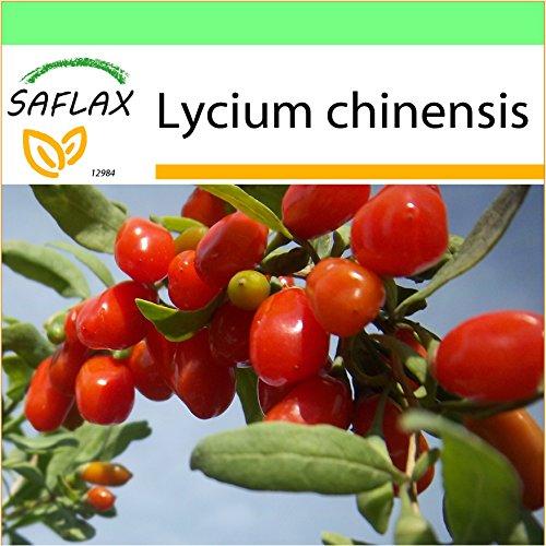SAFLAX - Garden to Go - Goji - Beere - 200 Samen - Mit Tontopf, Untersetzer, Anzuchtsubstrat und Dünger - Lycium chinensis