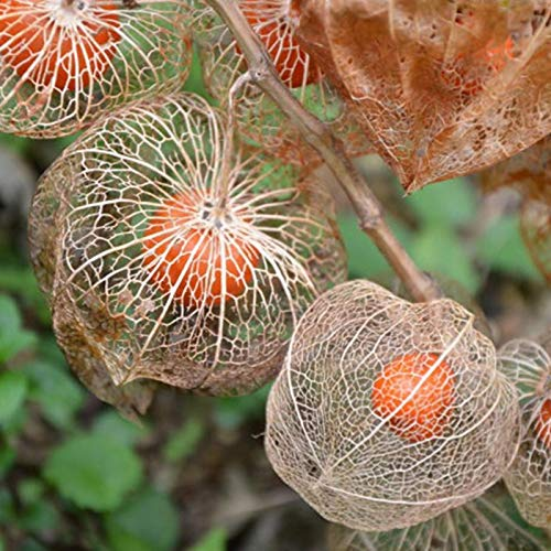 Semillas Physalis peruviana, 50pcs / Semillas bolsa de Physalis peruviana fruto comestible suculento de Eco-Friendly Peruviana siembras de frutas Physalis para el jardín
