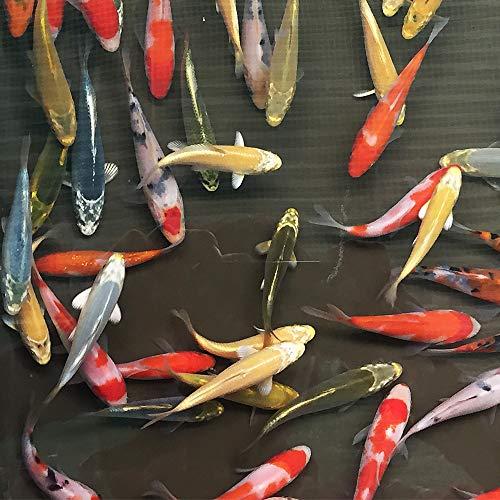 【生体】お任せ!錦鯉Mix5匹 S 10cm~13cm前後 鯉 色鯉 emuwai