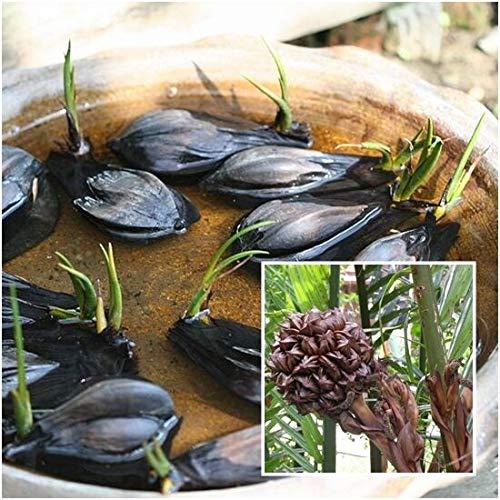 FERRY Bio-Saatgut nur Pflanzen Nicht: Nipapalme Wurmb 100 Seeds Nypa Atap pm Nipa Uhr Mangrove Uhr Rare