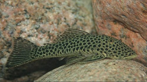 Rubberlip Pleco - Freshwater Live Tropical Fish for Aquariums or Ponds