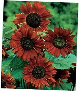 JEY 25 Seeds Velvet Queen Sunflower - RK128