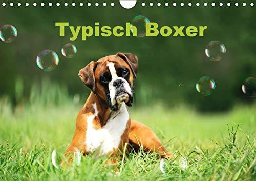 Typisch Boxer (Wandkalender 2021 DIN A4 quer)