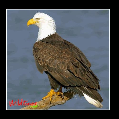 Birds of Prey - Raptor Bird Calls and Sounds
