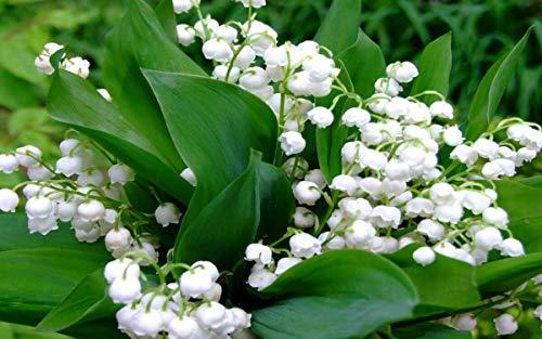 200 pièces de Bell Orchid Seeds Rare Muguet Fleurs Fleurs d'intérieur Bonsai arôme riche semences de plantes vivaces Fleurs Jardin 14