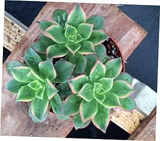 TEE 1 Bare Root Succulent Plant. Medium Size Aeonium Kiwi - RK59