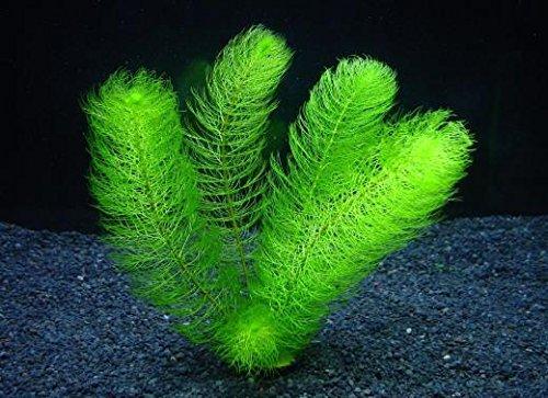 グリーンミリオフィラム (5本) ◆繊細な羽状葉◆ 無農薬