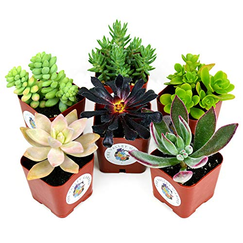 Succulent Plants 6-Pack, Fully Rooted in Planter Pots with Soil - Real Live Potted Succulents, Hand Selected Random Variety Pack of Mini Succulents (6 Pack)