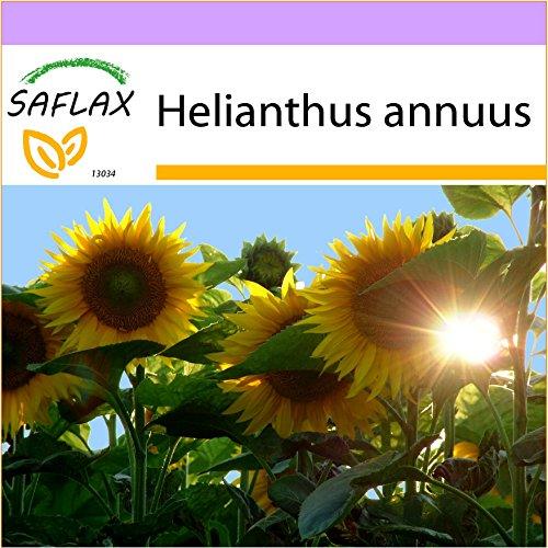 SAFLAX - Girasol Titan - 20 semillas - Helianthus annuus