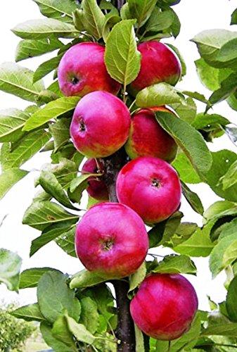 """Säulenapfel\""""DGIN\"""", Apfelbaum 4 jährig ca.140/160cm. im Container.Säulen Spätsommer Äpfel"""