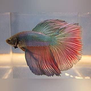 Super Delta Betta - Live Aquarium Tropical Fish