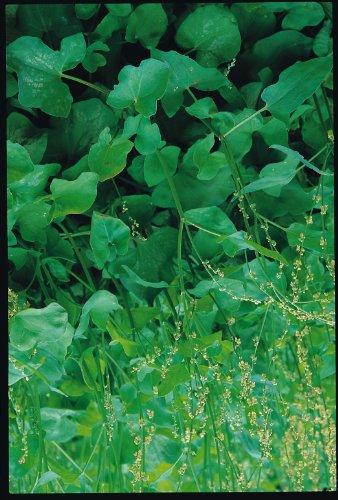 Il vous suffit de graines fines herbes???Sorrel Grande Fran?ais???oseille Acetosa 'Grande' fran?aise???1500?graines