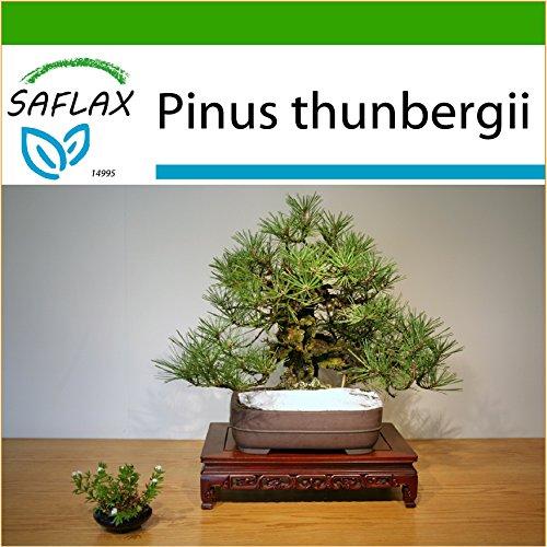 SAFLAX - Bonsai - Japanische Schwarzkiefer - 30 Samen - Mit keimfreiem Anzuchtsubstrat - Pinus thunbergii